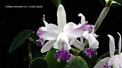 Cattleya intermedia coerulea aquinii (emmily1955) Tags: orchids cattleya explore