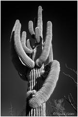 - Reaching Out - (claudiov958) Tags: arizona biancoenero blackwhite blancoynegro cactus černýabílý claudiovaldés czarnyibiały nikkor28mmf28 nikond800e noiretblanc pretoebranco saguaro schwarzundweiss tree черноеибелое
