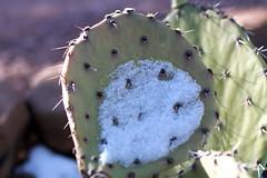 Pad and Snow Shadow (cogdogblog) Tags: snow cactus