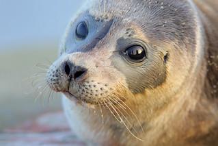 Phoque veau-marin
