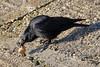 Crow 1 20180225 (Steve TB) Tags: ramsgate harbour canon eos7dmarkii crow carrion shell