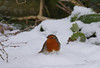 Robin in snow (yvonnepay615) Tags: panasonic lumix gh4 bird robin mygarden ngc