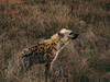 Hyena (FabianYou) Tags: krugerpark mpumalanga südafrika za animal safari travel travelling southafrica africa hyena