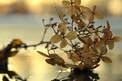 possibility (joy.jordan) Tags: hydrangea texture leaves puddle reflection light sunset bokeh nature winter