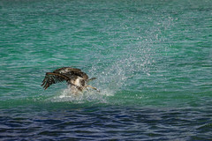 pelican fishing 2 (ikarusmedia) Tags: legs water turquoise animal bird splashing wings pelican fishing sea cortes gulf baja california sur mexico loreto nature national park wild life closeup