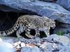 Schneeleopard (ingrid eulenfan) Tags: leipzig zoo tier animal schneeleopard 85mm sony85mm felsen