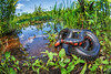Western Mud Snake in Habitat (Tristan Schramer) Tags: western mud snake mudsnake farancia abacura reinwardtii loess belt kentucky ky