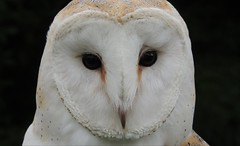 Ghost in the Dark (Kevin Pendragon) Tags: barnowl outdoors facialdisk beak white brown nature flight wings eyes soul hunter screechowlsanctuary cornwall summer