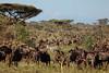 L'intrus (Chamaloote & Fabrizio) Tags: voyage tanzanie senregeti zèbre gnou animal sauvage photographie savane migration afrique souvenir