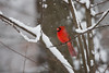 Cardinal enjoying the snow (lilredlizzie) Tags: bird birding birdsofmassachusetts cardinal snow snowing weather outdoors outside massachusetts newengland beautiful pretty nature naturelovers amazing mood canon canon60d canonef70300 winter wintery bokeh dof animal animalplanet