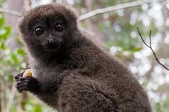 Madagascar-2847-_DSC2425 (beppevig) Tags: madagascar africa animali animals wild lemuriformes lemuriforme lemuri lemure