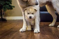 Liam. Day Thirty-Five. (Vanessa Privett Photography) Tags: liam siberianhusky puppy baby dog singleton showdog snowdog sleddog christmas chunky chubby flabby fatty