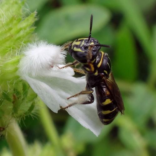 Try it on for size! Ceratina sp., Small Carpenter Bee, and Common Leucas, Leucas aspera, Kerandangan Beach, Lombok, Indonesia