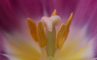 Beauty within the Tulip....