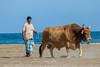 Workbull (Enricu) Tags: workhorse bull workbull nature sheperd oman animal