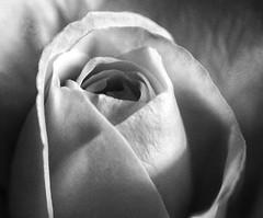 Macro on Monday! 😀👍😀 (LeanneHall3 :-)) Tags: blackandwhite rose rosepetal petals closeup closeupphotography macro macroextensiontubes macrophotography flower flowerarebeautiful flowersarefabulous flowerflowerflower canon 1300d