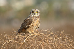 Short-eared Owl (3338) (Bob Walker (NM)) Tags: bird raptor owl shortearedowl asioflammeus seow perching sandiego california usa