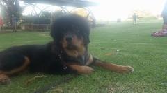 25353755_10214628513533460_688906731025001134_n (natedetienne) Tags: ash tibetan mastiff puppy tm
