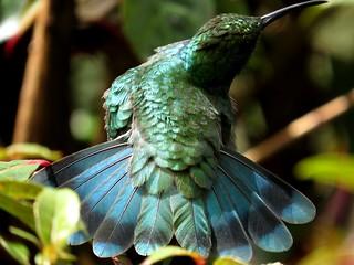On display - Hummer tail, Paraiso Quetzal Lodge, Costa Rica, Nov 2016