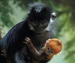 francoislangoer Blijdorp BB2A3934 (j.a.kok) Tags: aap animal asia azie mammal monkey primaat primate moederenkind motherandchild blijdorp langoer langur francoislangoer francoislangur baby oranjeaapje orangemonkey zoogdier dier