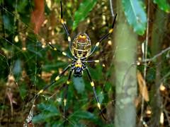 Waiting for dinner (Golden Orb Weaver spider - bottom) (jo.elphick) Tags: bawleypoint nsw australia goldenorbweaver spider yellow black