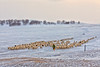 Looking for new pastures (Ben-ah) Tags: mongolia sheep lamb herder snow landscape ulanbutong innermongolia snowscape pasture travelphotography china