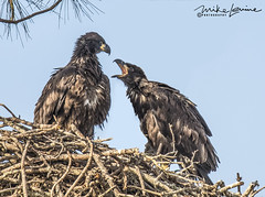 DSC_4366 (mikeyasp) Tags: eagles baldeagles nest nesting eaglesnest juvenile babies youngeaglets wild nature outdoors haliaeetusleucocephalus wings