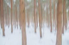 SnowICM (markhortonphotography) Tags: intentionalcameramovement conifer pine markhortonphotography woods icm cold verticalpanning deepcut surrey blur texture tree winter white snow surreyheath ice silverbirch foest bark trunk frozen