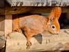 On The Run (Undertable) Tags: oliverbauer undertable assamstadt natur naturfotografie tier tiere tierfotografie tierportrait baumbewohner eichhörnchen hörnchen baumhörnchen gleithörnchen baumundgleithörnchen nuss nager sciuromorpha sciuridae sciurinae sciurini sciurus sciurusvulgaris naturephotography animal animals animalphotography animalportrait squirrel nuts availlablelight