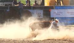 down and dusty (tom.edwards1974) Tags: rodeo myrtleford victoria australia cowboy summer steer cow bull man myth athlete