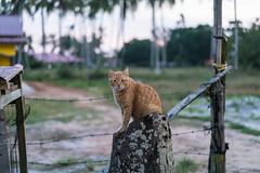 20171214-DSC02722.jpg (CBsoundso) Tags: sitting kedah asia solunaguesthouse pantaicenang cat sony throne animal malaysia carlo southeastasia sunset nature sonyphotography sonyalpha sonyarii langkawi