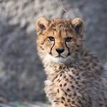 Cheetah thumbnail