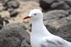 Piha, Auckland, NZ (christineNZ2017) Tags: piha redbilledgull auckland newzealand westauckland waitakere