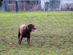 Play? (jgomezmonico) Tags: panasonic konica hexanon dogs victoriabc dmcg5 microfourthirds mirrorless lumix oldlens manualfocus manual animal