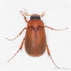Serica brunnea (Olli_Pihlajamaa) Tags: animalia arthropoda coleoptera hexapoda insecta invertebrata melolonthinae osram160w polyphaga scarabaeidae scarabaeiformia scarabaeoidea serica sericabrunnea sericini sylvaniablacklight3682x40w uvvalo eläinkunta erilaisruokaiset hyönteiset koti kovakuoriaiset kuusijalkaiset lehtisarviset mustavalo niveljalkaiset ruskoturilas sekavalo selkärangattomat turilasmaiset espoo uusimaa finland fi