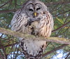All fluffed up! (Deeber71) Tags: woods pines feathers fluffy barred owl perch talons