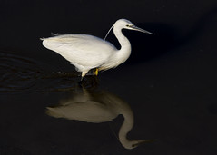 Little Egret (wayne.withers1970) Tags: small pretty wings color colourful nature natural colour wild wildlife wales flickr country countryside outside outdoors alive fauna canon sigma light blur black white winter feathers lake river estuary mirror reflection still reserve llanelli