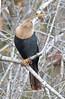 CAE008999a (jerryoldenettel) Tags: 180120 2018 anhinga anhingaanhinga anhingidae fl ftmeyer leeco monocots suliformes bird