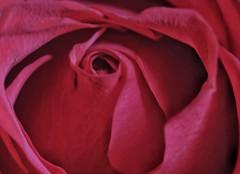 Red Rose, my favourite!!🌷🌷🌷 (LeanneHall3 :-)) Tags: rose red rosepetal petals flower flowerarebeautiful flowersarefabulous closeup closeupphotography macro macrophotography macroextensiontubes canon 1300d