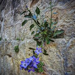dillo con un fiore ... (Roberto Defilippi) Tags: 2018 72018 nikond7100 matera fiori flower muro wall tokina1116mmf28