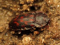 Nitidulid Beetle (treegrow) Tags: washingtondc rockcreekpark lifeonearth nature raynoxdcr250 arthropoda insect beetle coleoptera nitidulidae phenoliagrossa taxonomy:binomial=phenoliagrossa