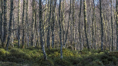 Birchwoods (prajpix) Tags: downy birch woods woodland forest trees deciduous hardwood highlands scotland invernessshire nature winter