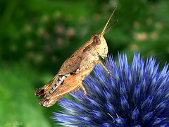 GRASSHOPPER IN A SPIKY SITUATION (Lani Elliott) Tags: macro flower garden homegarden insect grasshopper greenbackground spiky blue patterned bokeh macrounlimited awesome beautiful fantastic