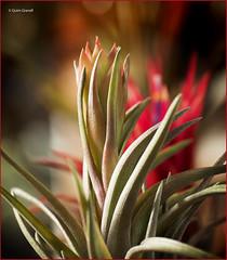 (2690) Tillandsia (Air plant) (QuimG) Tags: tillandsias macro natura nature naturaleza flors flowers flores quimg quimgranell joaquimgranell