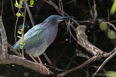 Green Heron (Butorides virescens) (Frode Jacobsen) Tags: greenheron butoridesvirescens frodejacobsen florida bird