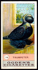 Cigarette Card - Trumpeter Pigeon (cigcardpix) Tags: cigarettecards advertising ephemera vintage birds