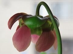 IMG_20180221_161813_594 (digitalrevolution) Tags: sarracenia purpurea carnivorous plant flower bloom spring