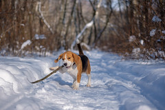 Beagle (androsoff) Tags: animal beagle black branch breed brown canine cold cute day dog drifts forest fun funny happy hunter jump landscape mammal muzzle nature nose outdoor park paws pet playing quick running snow stick tail thoroughbred trees tricolored weather white winter young walking portrait background walk field one purebred