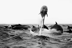 (Weils Piuk) Tags: delfin sea seascape water ocean dolphin pacific oceano pacifico chile la serena weils piuk wales puke nine miles nueve millas romi catriel dubiel black white contrast bw bandw jumping splashing playing following boat