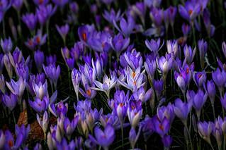 Crocus meadow Flora Cologne